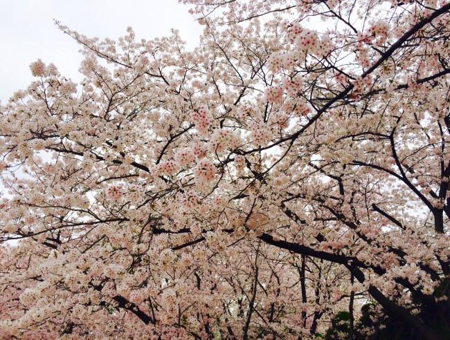 キャンパス内に咲き誇る桜