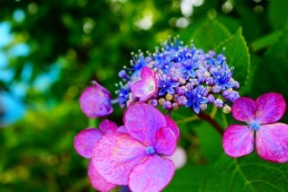 咲き始めのアジサイの写真をモチーフに…