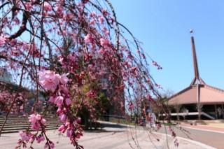 ▲しだれ桜が咲き始めています